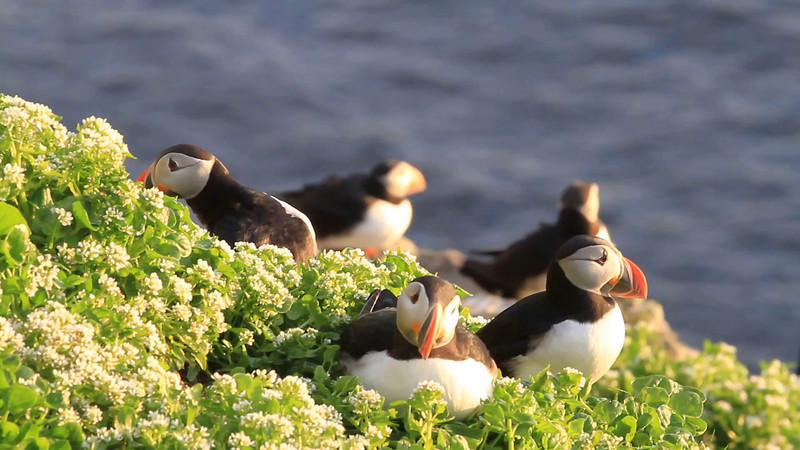 LUNDE, Puffin, Hornøya, Norway